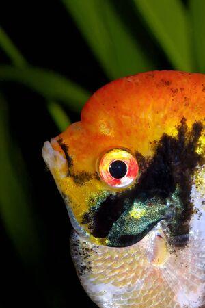pterophyllum scalare: Detailed orange head of angelfish in the aquarum.