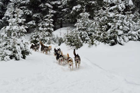 huskys: Dog sled running in winter wood.