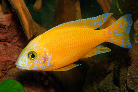 aulonocara: Male of cichlid fish from genus Aulonocara.