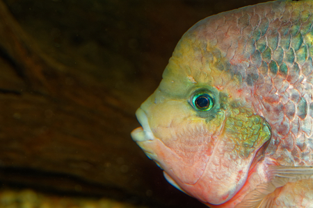 vieja: Detail portrait of cichlid fish from genus Vieja.