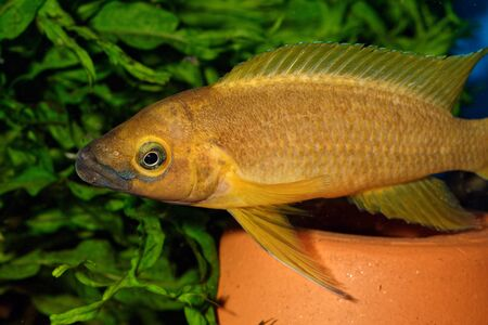 cichlid: Nice yellow cichlid fish from genus Neolamprologus.