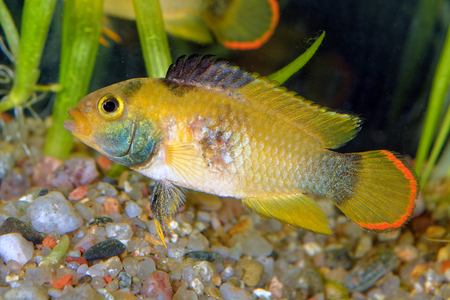 cichlid: Nice female cichlid fish from genus Apistogramma.