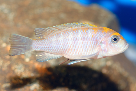 zebra cichlid: Nice blue cichlid fish from genus Pseudotropheus. Stock Photo