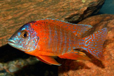 cichlid: Male of cichlid fish from genus Aulonocara.