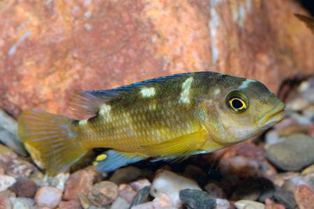 cichlids: Nice brown yellow cichlid fish from genus Pseudotropheus.
