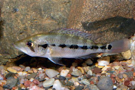Nice grey cichlid fish from genus Petenia.