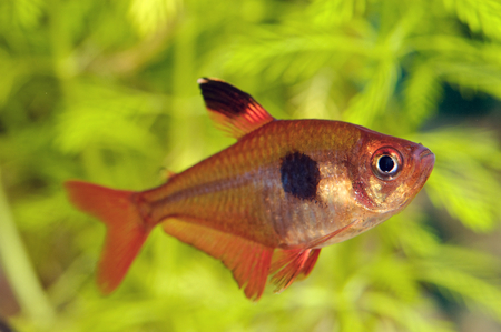 tetra fish: Nice red tetra fish from genus Hyphessobrycon.