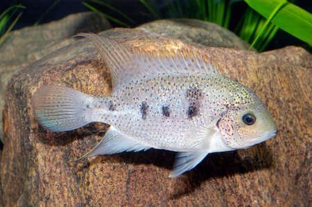 cichlasoma: Nice white cichlid fish from genus Vieja.