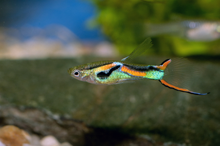 freshwater aquarium plants: Nice colored livebear fish from genus Poecilia.