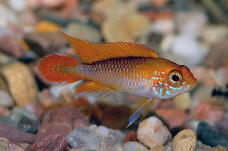 Nice orange cichlid fish from genus Apistogramma.