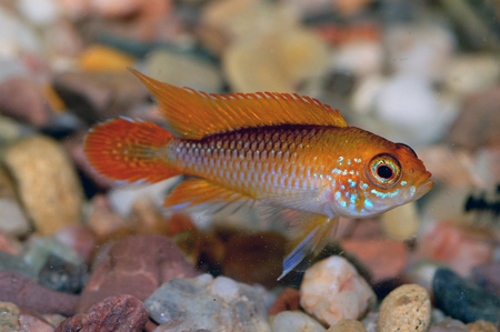 apistogramma: Nice orange cichlid fish from genus Apistogramma.