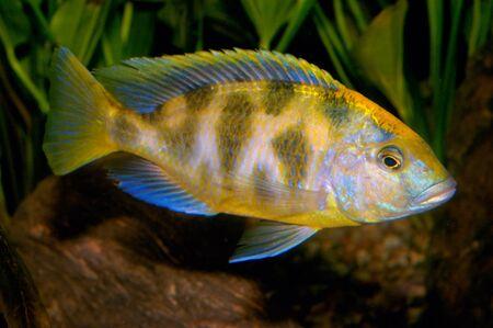 cichlid: Nice yellow cichlid fish from genus Nimbochromis.