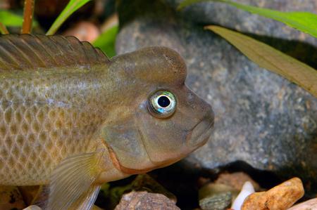 cichlidae: Detailed view head of cichlid from genus Steatocranus.
