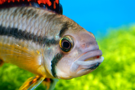 apistogramma: Detailed view head of cichlid from genus Apistogramma. Stock Photo