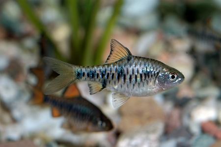 Aquarium fish from genus Puntius. photo