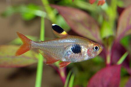 hyphessobrycon: Aquarium fish from genus Hyphessobrycon.