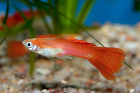 freshwater aquarium plants: Nice colored aquarium fish from genus Poecilia.