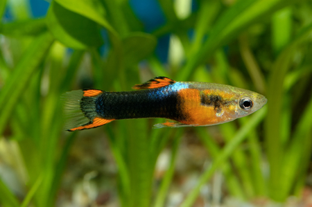 poecilia: Nice colored aquarium fish from genus Poecilia.