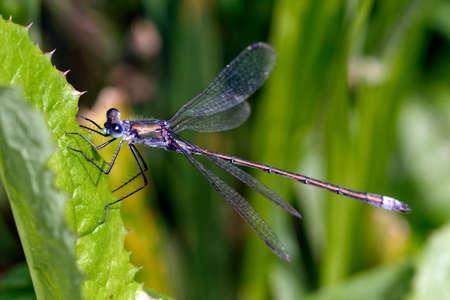 dragonfly wing: Pretty blue dragonfly sitting on a leaf of grass.