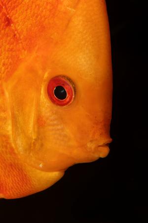 Very nice portrait of orange discu fish. photo