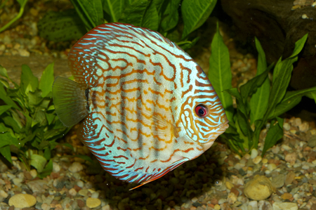discus: Nice blue discus fish in aquaraium.