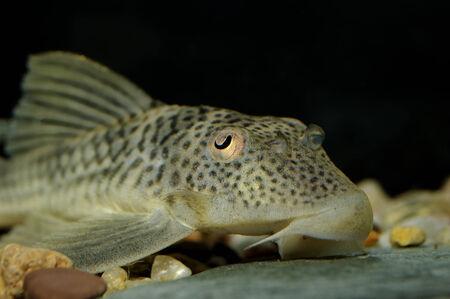 Detailed portrait of suckermouth catfish.