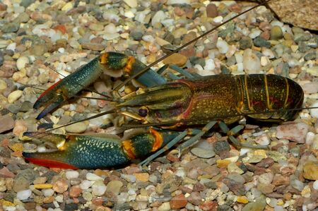 freshwater: A male freshwater crayfish in the aquarium.