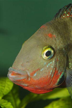 Nice detailed fish head portrait of Thorichthys meeki. Stock Photo