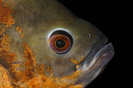 astronotus: Nice detailed portrait of red oscar cichlid fish.