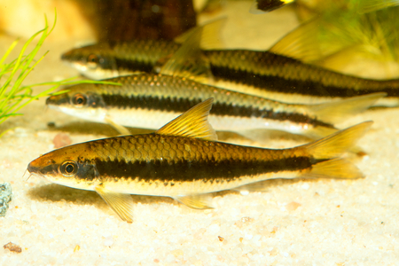 barbus: Aquarium striped barb fish from the south east Asia. Stock Photo