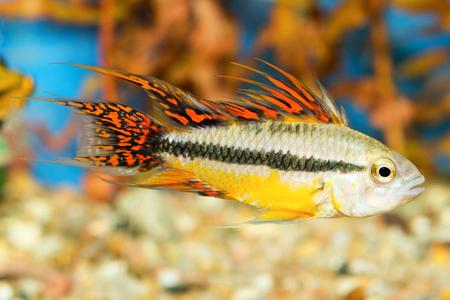 Aquarium cichlid fish from the genus Apistogramma.