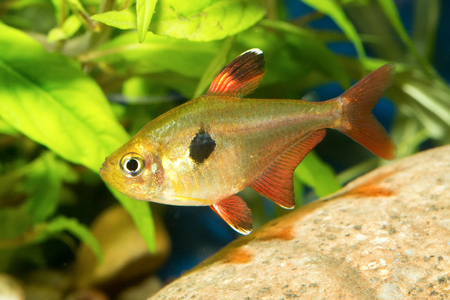tetra fish: Nice aquarium tetra fish from the genus Hyphessobrycon. Stock Photo