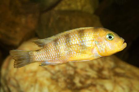 cichlid: Aquarium cichlid fish from the genus Pseudotropheus.