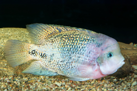 large cichlid: Aquarium cichlid fish from the genus Vieja.