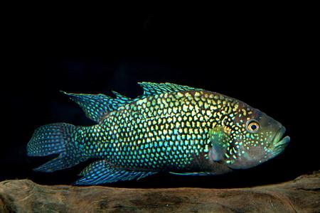 buntbarsch: Aquarium Buntbarsch aus der Gattung Rocio. Lizenzfreie Bilder