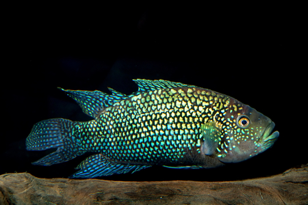 large cichlid: Aquarium cichlid fish from the genus Rocio.
