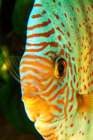 Portrait of aquarium cichlid fish from genus Symphysodon. photo