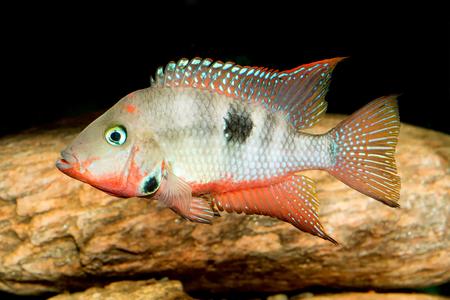 Nice aquarium cichlid fish from genus Thorichthys. Stock Photo