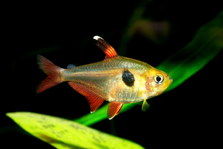 tetra fish: Nice aquarium tetra fish from genus Hyphessobrycon.