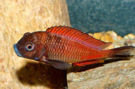 Nice aquarium fish from genus Tropheus. photo