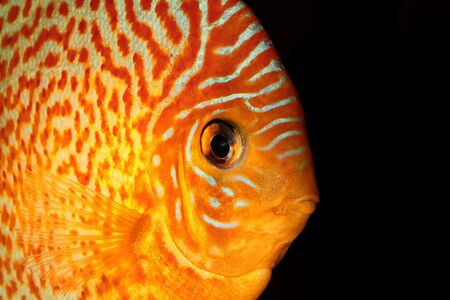 discus: Detailed portrait of orange discus fish head. Stock Photo