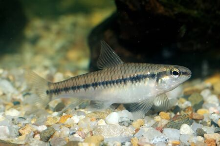tetra fish: Nice characid aquarium fish fon the bottom.