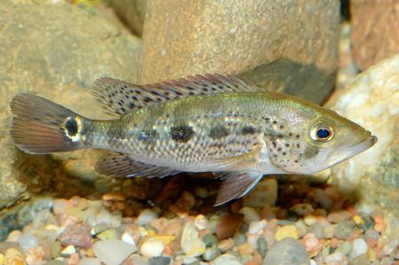 cichlids: Nice aquarium fish from genus Petenia. Stock Photo