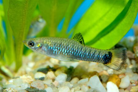 poecilia: Nice aquarium fish from genus Poecilia. Stock Photo