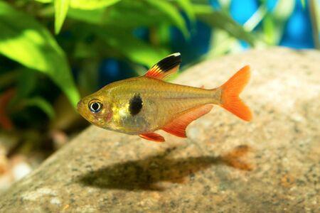 hyphessobrycon: Nice red tetra fish from genus Hyphessobrycon in aquarium. Stock Photo