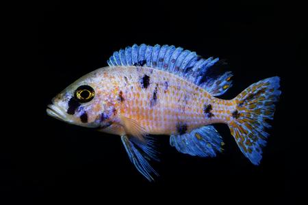 cichlids: Aulonocara fish frm Malawi lake on the black backgrounfd.