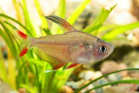 tetra fish: Nice pink tetra fish from genus Hyphessobrycon in the aquarium.
