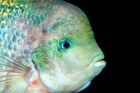 cichlid: Portrait of cichlid fish frm genus Vieja in the aquarium.