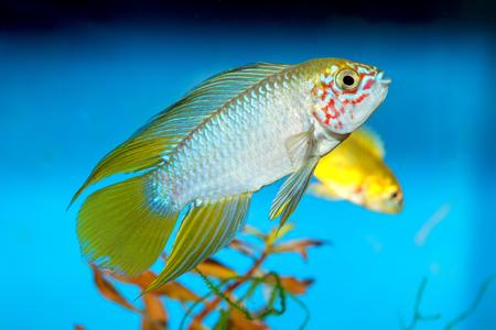 Apistogramma fish in aquarium with blue background.