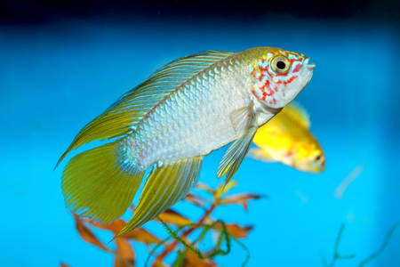 apistogramma: Apistogramma fish in aquarium with blue background.